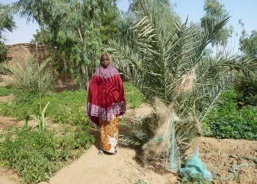 Au Mali : les maraîchers de Gao passent à l'agroforesterie