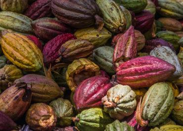 Relancer la filière cacao au Congo Brazzaville