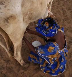 Du lait local pour les villes du Sénégal