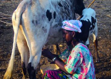 Protégeons les exploitations laitières familiales en Afrique de l'Ouest !