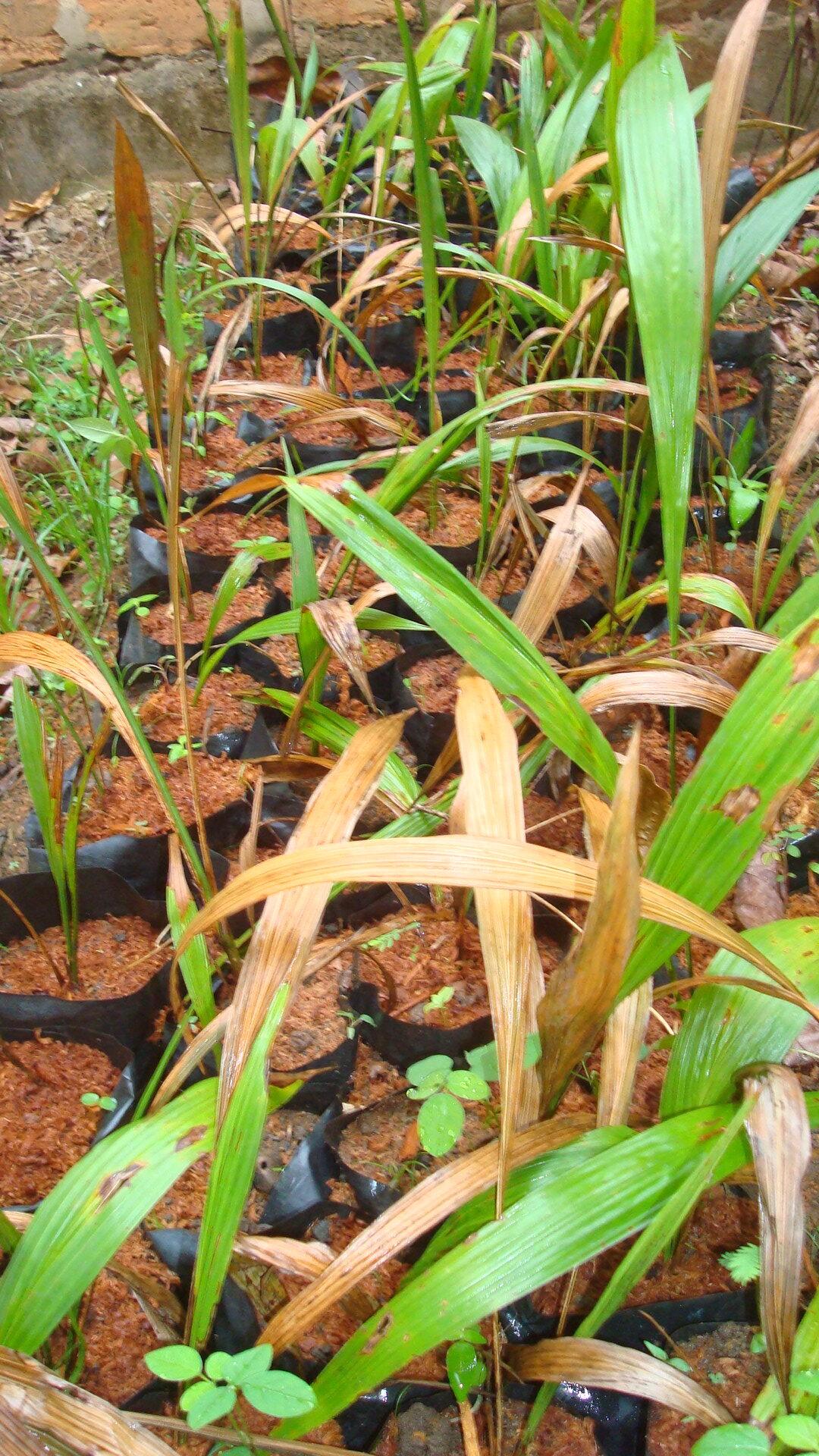 plants arbres fruitiers - Nkayi 2021 - pcpacongo